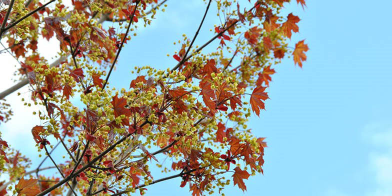 Acer platanoides – description, flowering period and general distribution in North Carolina. in early fall