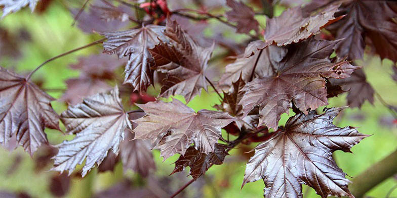 Acer platanoides – description, flowering period and general distribution in North Carolina. red leaves