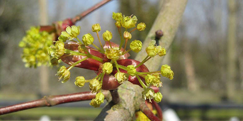 Acer platanoides – description, flowering period and general distribution in North Carolina. the beginning of the flowering period. Little buds.