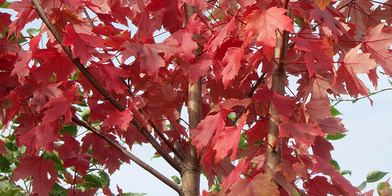 Acer platanoides – description, flowering period and general distribution in North Carolina. plant with red leaves