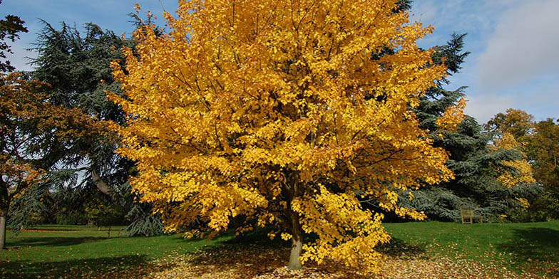 Red maple – description, flowering period. large lonely tree in the fall