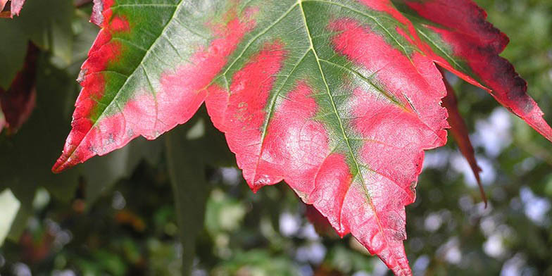 Red maple – description, flowering period. green leaf turns red, close-up