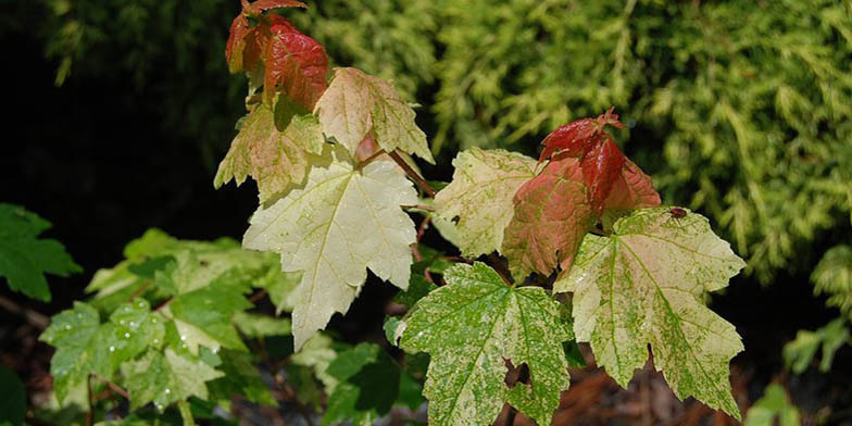 Red maple – description, flowering period. green leaves change color to red