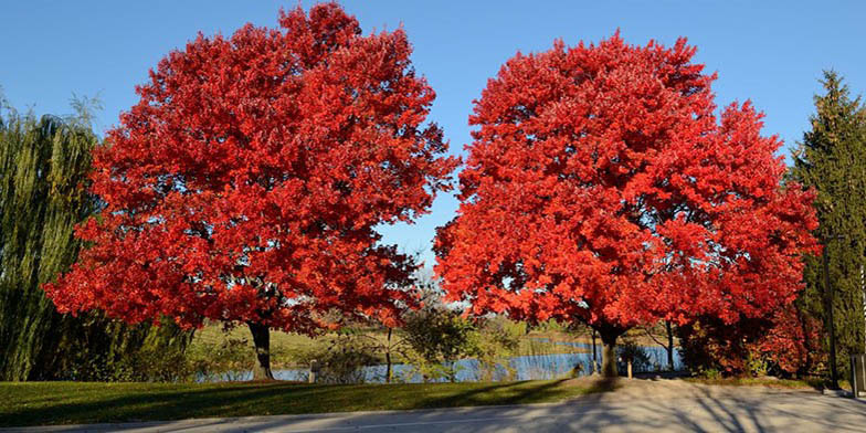 Red maple – description, flowering period. plants covered with red leaves