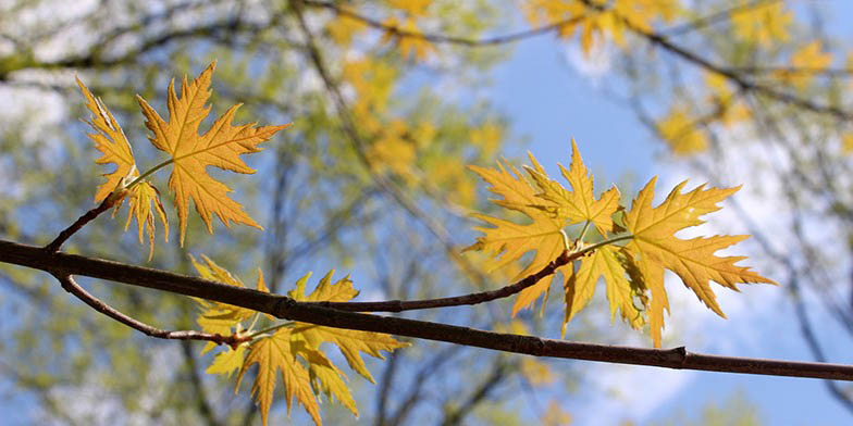 Acer saccharinum – description, flowering period and general distribution in Minnesota. yellow leaves, autumn