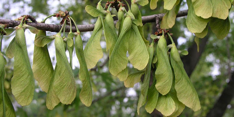Soft maple – description, flowering period. seeds on a branch