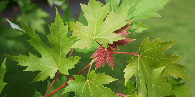 Soft maple – description, flowering period. green and red leaves on a branch
