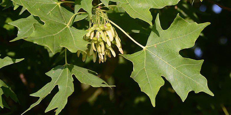 Soft maple – description, flowering period. green leaves and seeds