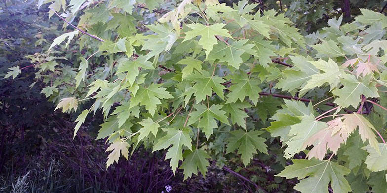 Soft maple – description, flowering period. branch with green leaves