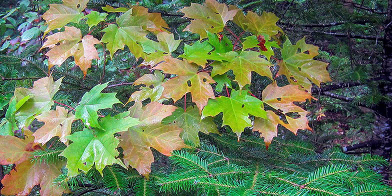 Hard maple – description, flowering period. green leaves change color