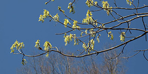 Acer saccharum – description, flowering period and time in Arkansas, branches strewn with flowers.