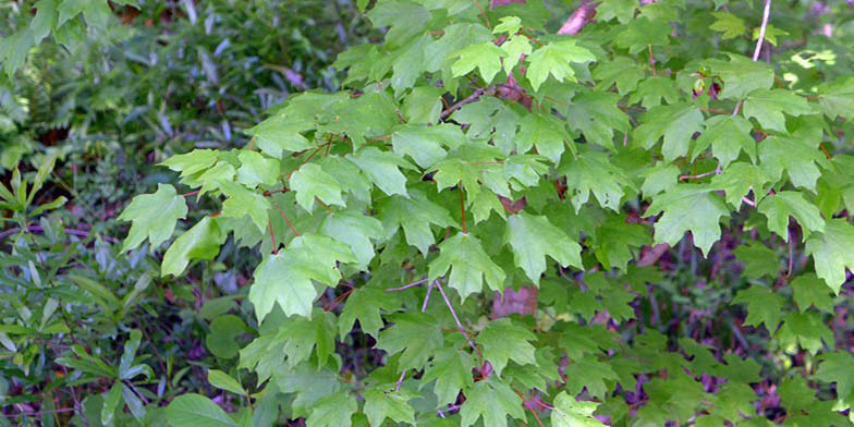 Hard maple – description, flowering period. green branch