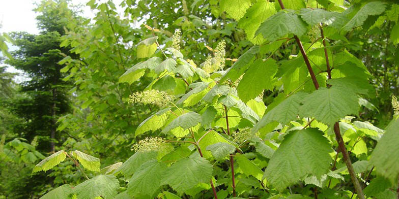 Acer spicatum – description, flowering period. Blooming tree