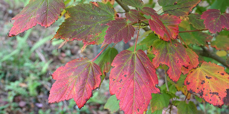 Acer spicatum – description, flowering period. Green leaves turn red