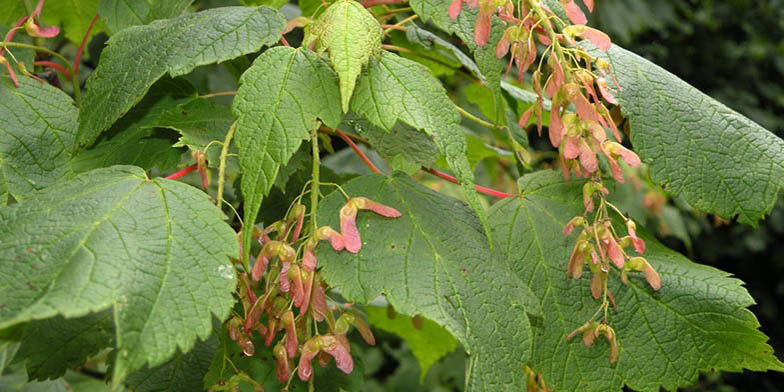 Acer spicatum – description, flowering period. Green leaves and ripening seeds