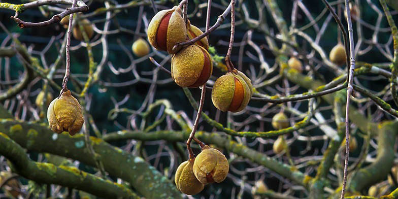 Buckeye – description, flowering period. Ripe fruits on the branches, autumn