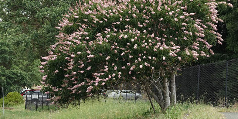 Buckeye – description, flowering period. Big, beautiful tree blooms