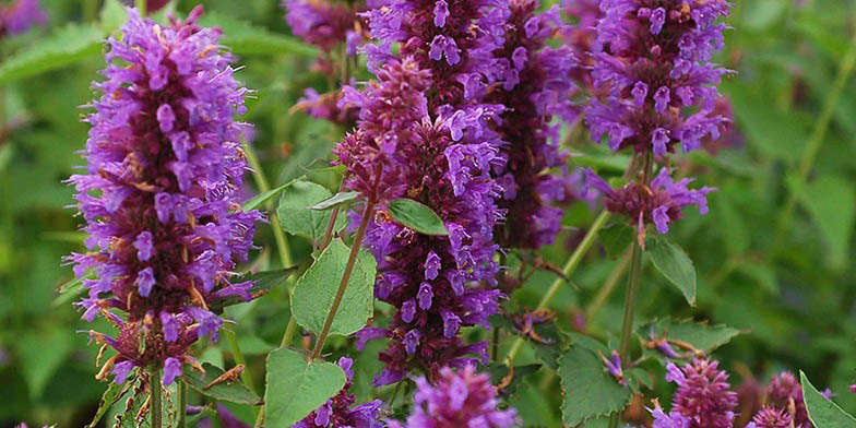 Fragrant giant hyssop – description, flowering period. Flowers close up