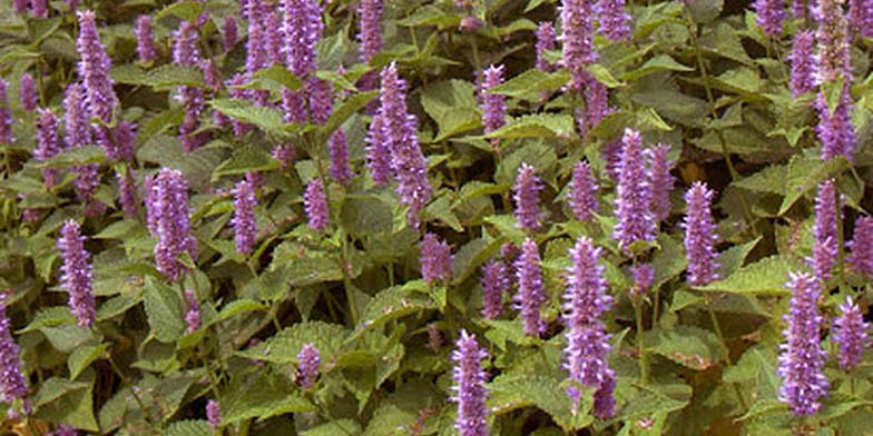 Fragrant giant hyssop – description, flowering period. Flowering plants