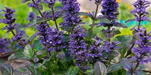 Ajuga reptans – description, flowering period and time in Arkansas, Stems, leaves and flowers.