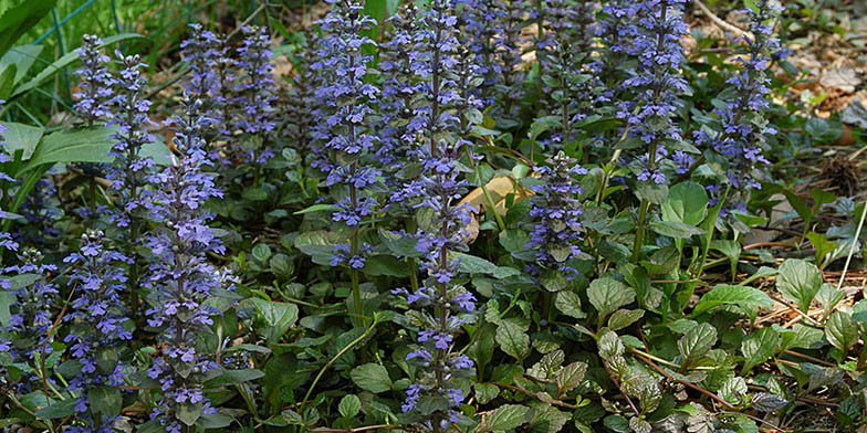 Bugle – description, flowering period and general distribution in New Jersey. Flowering plant. Blue flowers