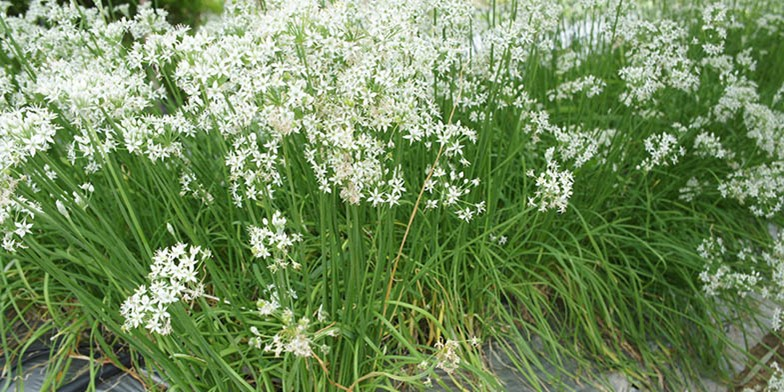 Asian chives – description, flowering period. white star-shaped flowers