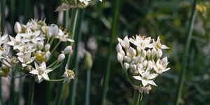 Allium tuberosum – description, flowering period and time in Arkansas, thick spherical umbrellas.