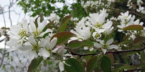 Amelanchier arborea – description, flowering period and time in Arkansas, delicate white flowers.