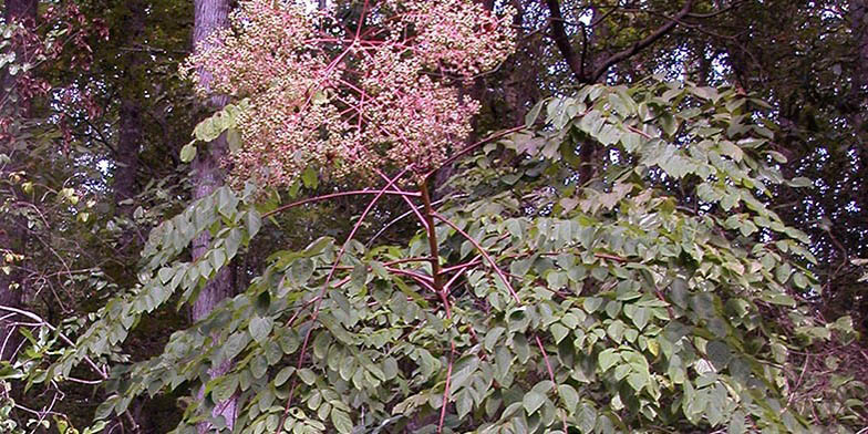Prickly ash – description, flowering period. berry ripening start