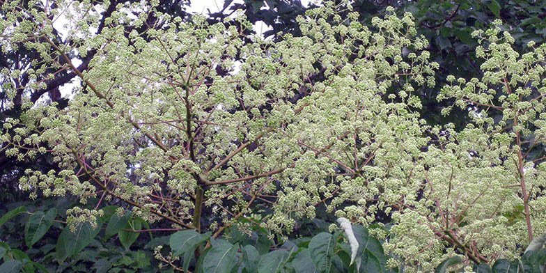 Prickly ash – description, flowering period. all branches in flowers