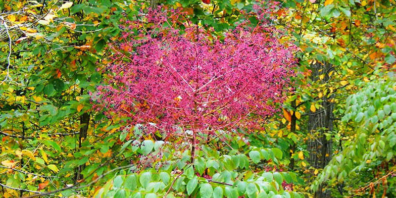 Prickly ash – description, flowering period. beautiful color ratio