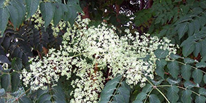 Aralia spinosa – description, flowering period and time in Arkansas, flowers are waiting for bees.