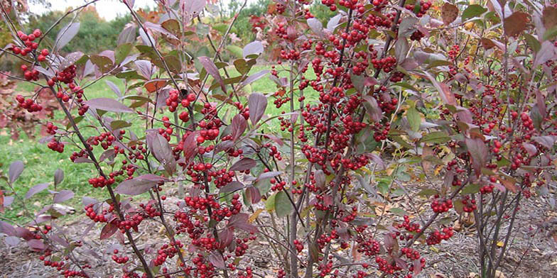 Red chokeberry – description, flowering period. Bushes with ripe fruits, leaves change color