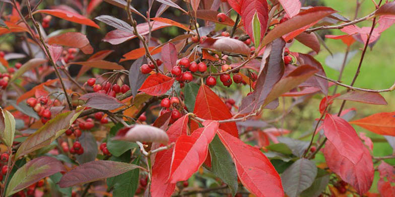Red chokeberry – description, flowering period. Branches with red leaves and fruits.