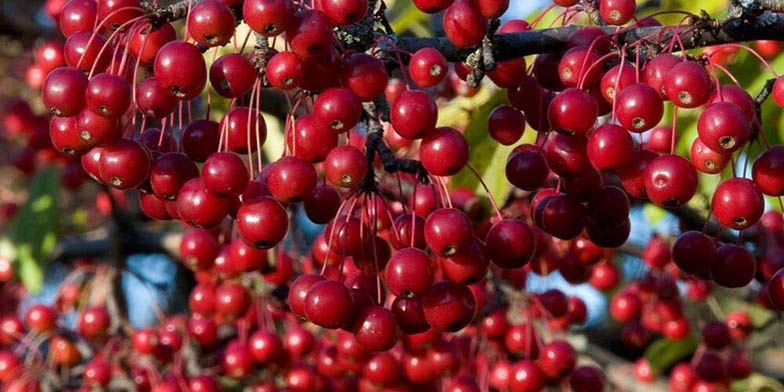 Red chokeberry – description, flowering period. An even row of planted bushes, summer