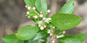 Aronia arbutifolia – description, flowering period and time in Arkansas, Plant begins to bloom.