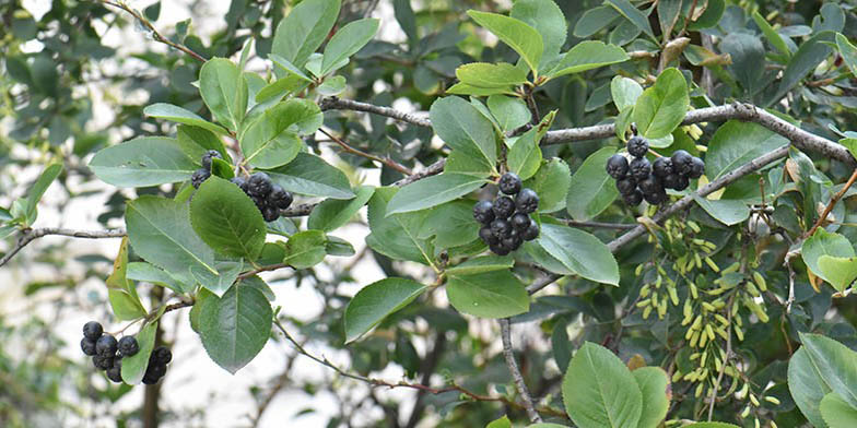 Aronia melanocarpa – description, flowering period and general distribution in Mississippi. Black chokeberry - branches with fruit