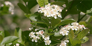 Aronia melanocarpa – description, flowering period and time in Arkansas, Black chokeberry - flowers on the branch .