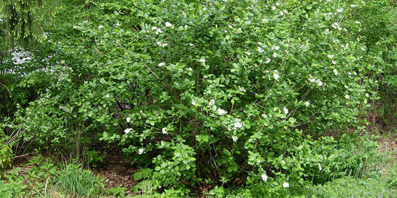 Sorbus – description, flowering period and general distribution in Pennsylvania. Black chokeberry (Aronia melanocarpa) green shrub start bloom