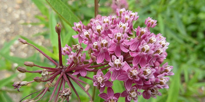 Сommon milkweed – description, flowering period and general distribution in Saskatchewan. pinkish-lilac, fragrant flowers, collected in large umbrella-shaped inflorescences