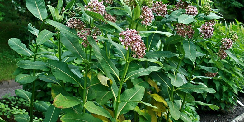 Сommon milkweed – description, flowering period and general distribution in Saskatchewan. stalks of milkweed with large leaves and delicate flowers