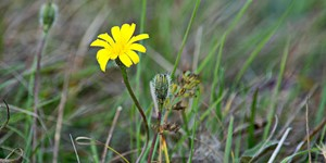 Asteraceae – description, flowering period and time in West Virginia, lonely flower in the meadow.