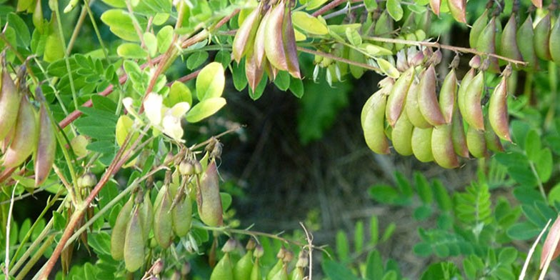 Goat's-thorn – description, flowering period. ripening fruits on the bushes