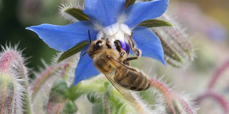 Common borage – description, flowering period and general distribution in Washington. the bee collects pollen