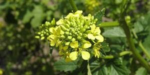 Brassica rapa – description, flowering period and time in Arkansas, the beginning of the flowering period.
