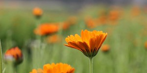 Calendula officinalis – description, flowering period and time in Maine, bright orange flowers.