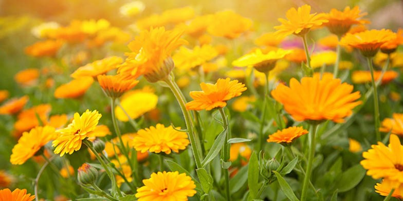 Pot marigold – description, flowering period. delicate flower heads bathe in the sun