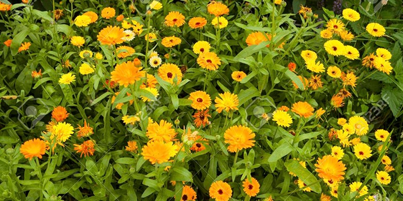 Pot marigold – description, flowering period. beautiful field of blooming calendula