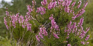 Calluna vulgaris – description, flowering period and time in Maine, evergreen flowering shrub.