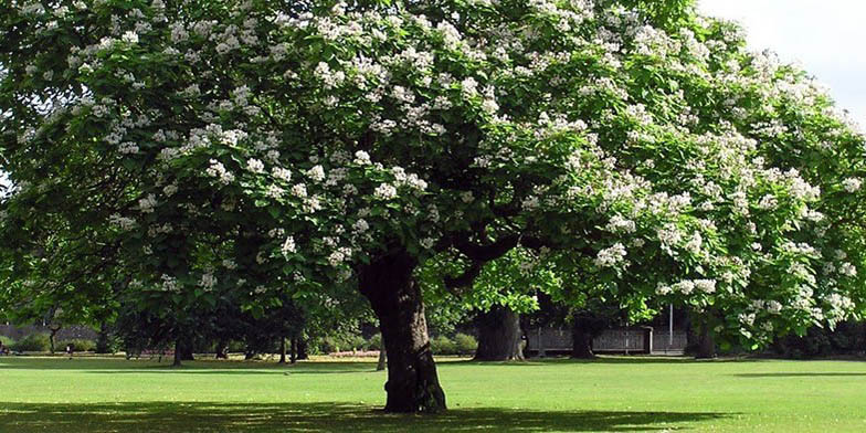 Hardy catalpa – description, flowering period and general distribution in Maine. lonely flowering tree in the park